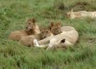 Lion cubs I | Recurso educativo 47531