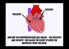 The Cardiac Cycle.mov | Recurso educativo 113806